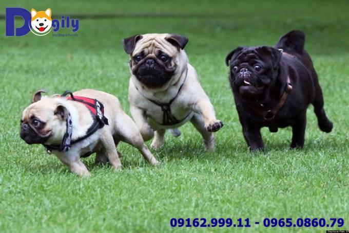 Giá chó Pug bao nhiêu tiền? Yếu tố nào tác động đến mức giá chó Pug?