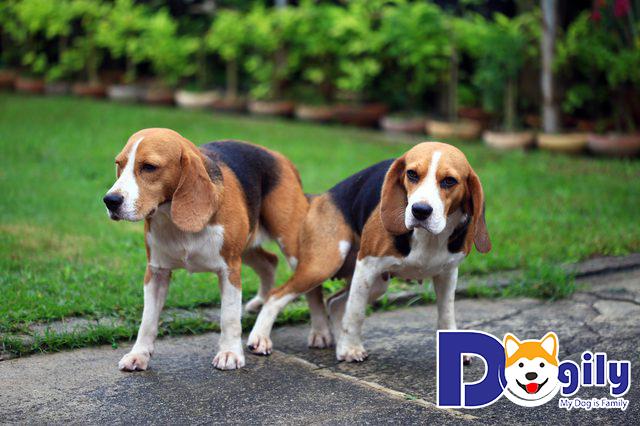 Hai chú chó đang phối giống