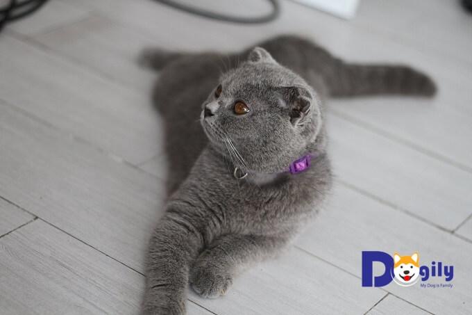 Một chú mèo Anh lông ngắn thuần chủng tại Dogily Petshop.