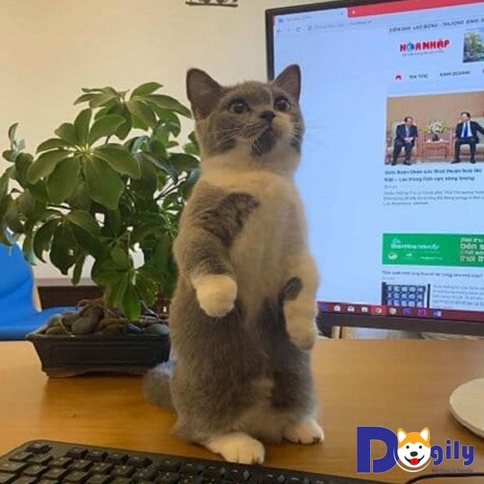 Bán mèo Bicolor nhị thể xinh xắn, đáng yêu và quấn người cực kỳ