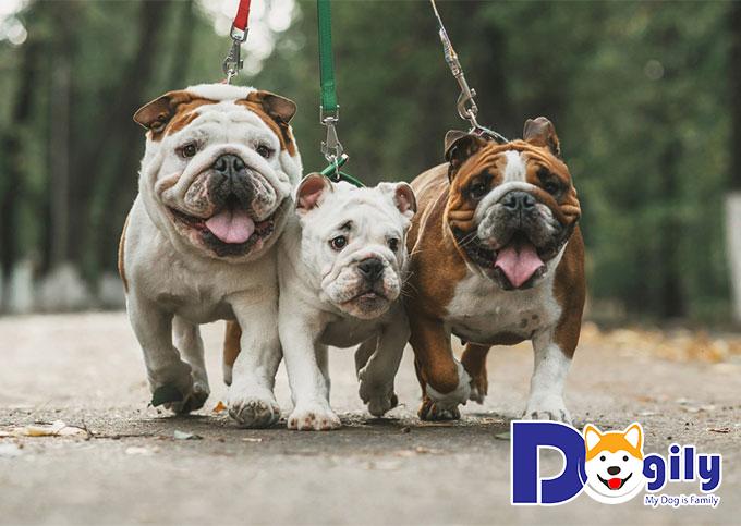 Mua chó mặt xệ giá bao nhiêu tiền?