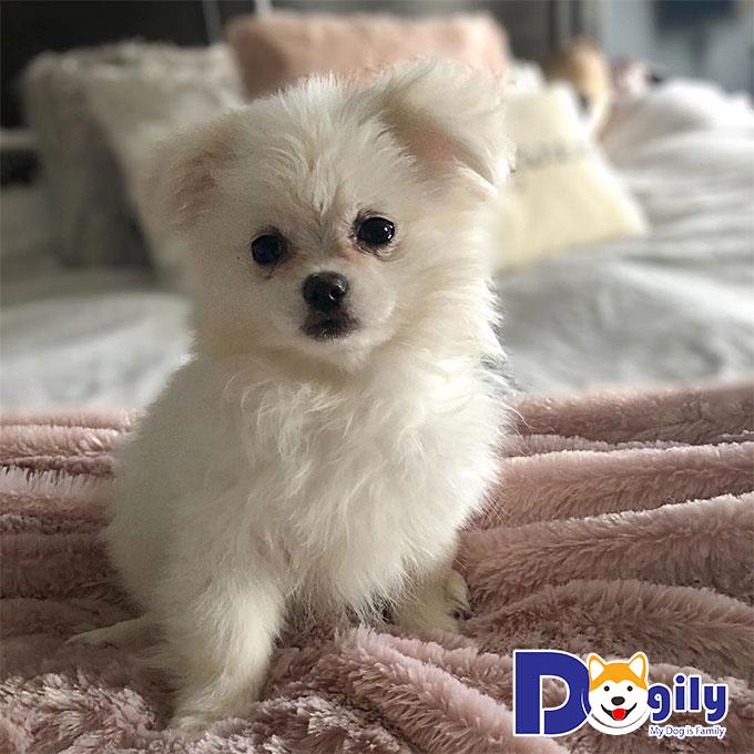 Chó Bắc Kinh lai – giống chó hoàng gia siêu phẩm của Trung Hoa
