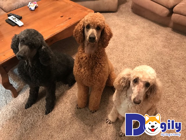 Những chú chó Poodle với những màu lông khác nhau