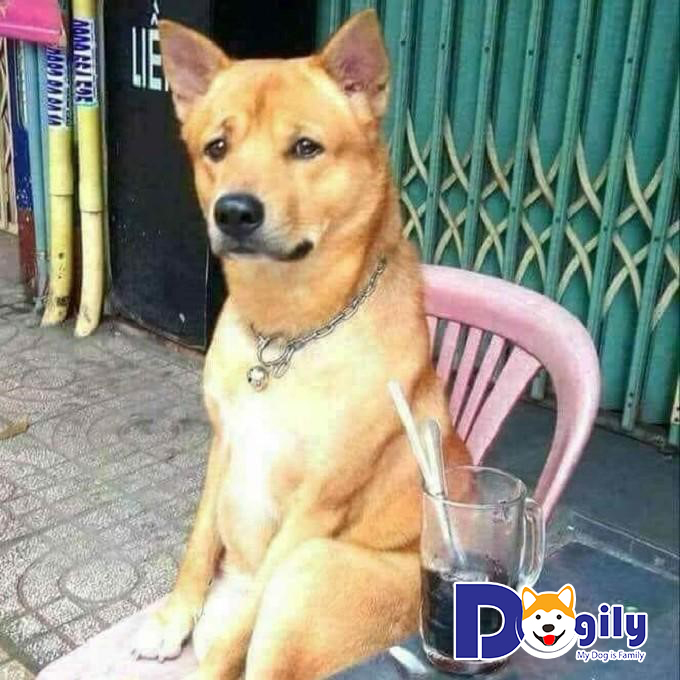 Bản năng của chó cỏ vốn đã khá thuần thục cách trông nhà và bảo vệ chủ nhân