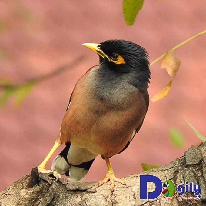 Cách nuôi chim sáo đẹp, kêu hay?
