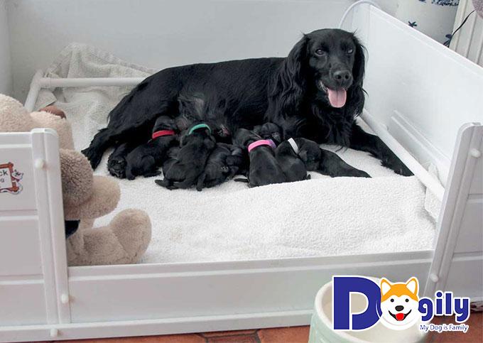 Chăm sóc chó mẹ và chó con sau sinh bạn nên biết