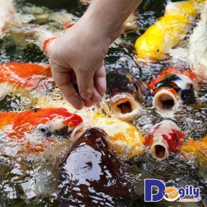 Chế độ dinh dưỡng của cá Koi