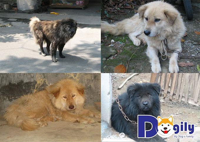 Chó Bắc Hà hay trong dân gian còn gọi là chó xồm