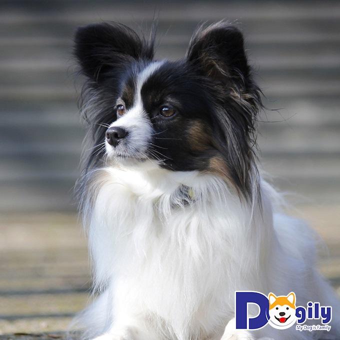 Chó Bướm – Quý cô sang chảnh, kiêu kỳ nhưng đầy dễ thương