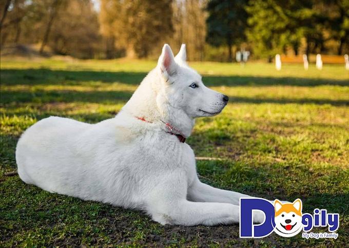 Chó Husky trắng - top 10 giống chó trắng đẹp nhất