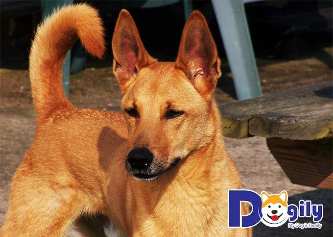 Chó Lài là một trong số các giống chó ta cực kỳ thông minh