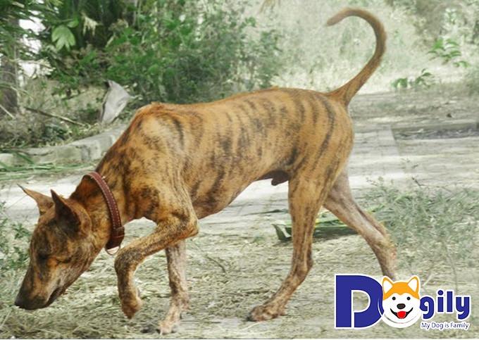 Chó Phú Quốc có bản tính rất hiền lành, dễ gần và rất trung thành