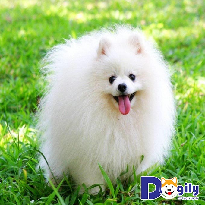 Top 10 giống chó trắng đẹp nhất – Cách chăm sóc bộ lông trắng