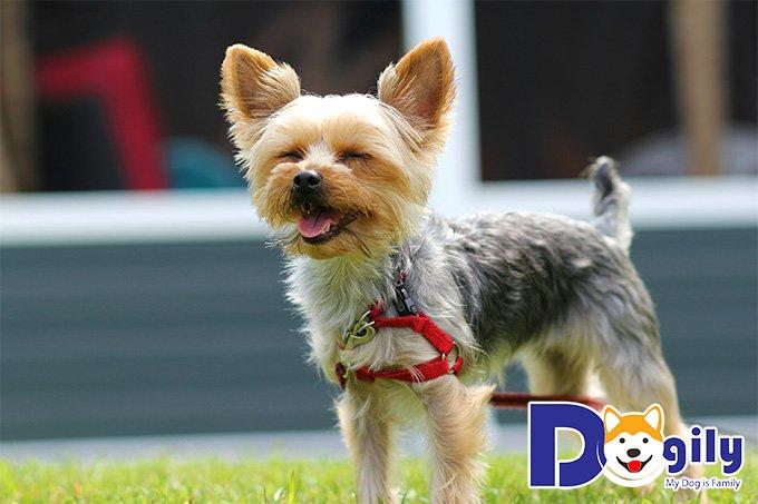 Chó Yorkshire Terrier