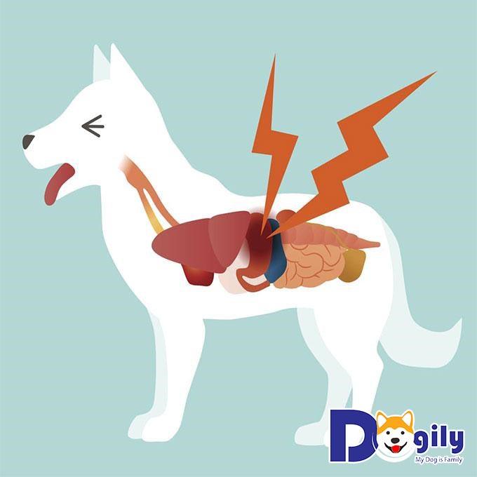 Chó bị nôn ói là bé có thể đã bị viêm ruột