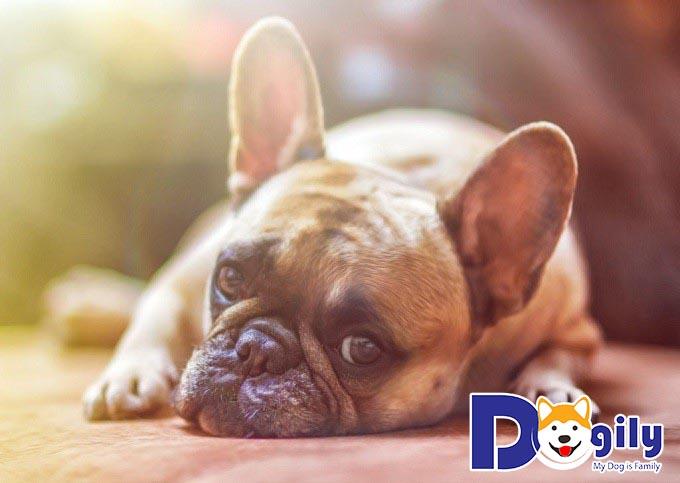 Chó bị nôn ra bọt vàng bọt trắng là mắc bệnh gì?