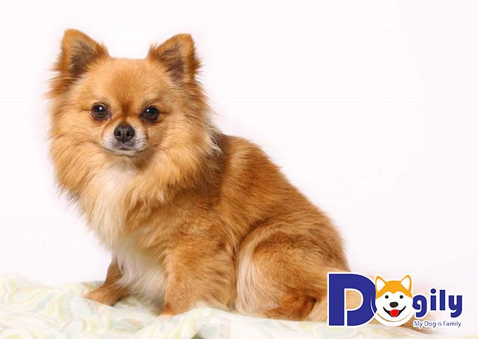 Chó con dễ thương nhất thế giới Chihuahua