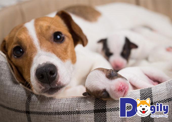 Chó con ra đời sau bao nhiêu ngày nằm trong bụng mẹ?