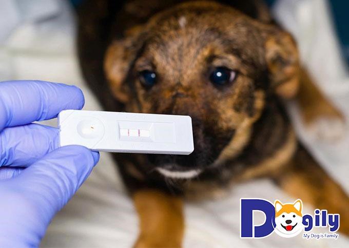 Chó mệt mỏi, ủ rũ vì mắc bệnh Parvo