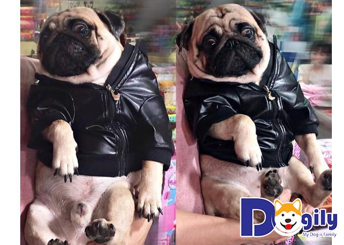 Chú Pug chó tên Po