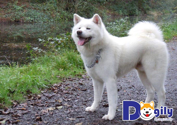 Chú chó Akita trắng