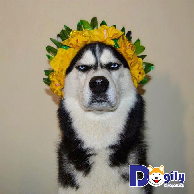 Chú chó Anuko nổi tiếng trên mạng xã hội
