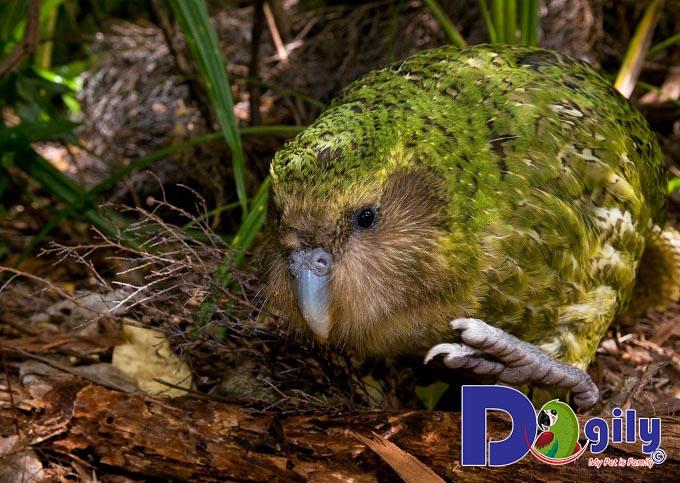 Chú vẹt Kakapo