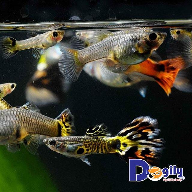 Tất tần tận những thông tin chi tiết bạn cần biết về cá bảy màu