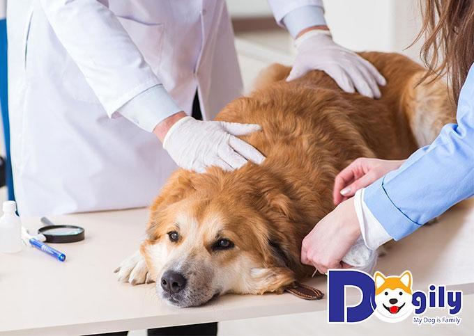 Có nên triệt sản chó cái bằng thuốc hay không?