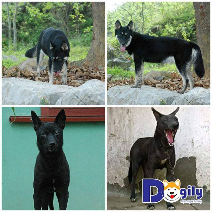 Đặc điểm của các bé Dingo Đông Dương