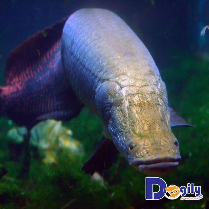 Cá Hải Tượng – Dòng cá khổng lồ đến từ Amazon