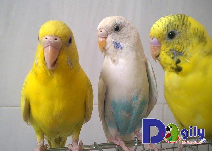 Địa điểm bán chim Yến Phụng uy tín