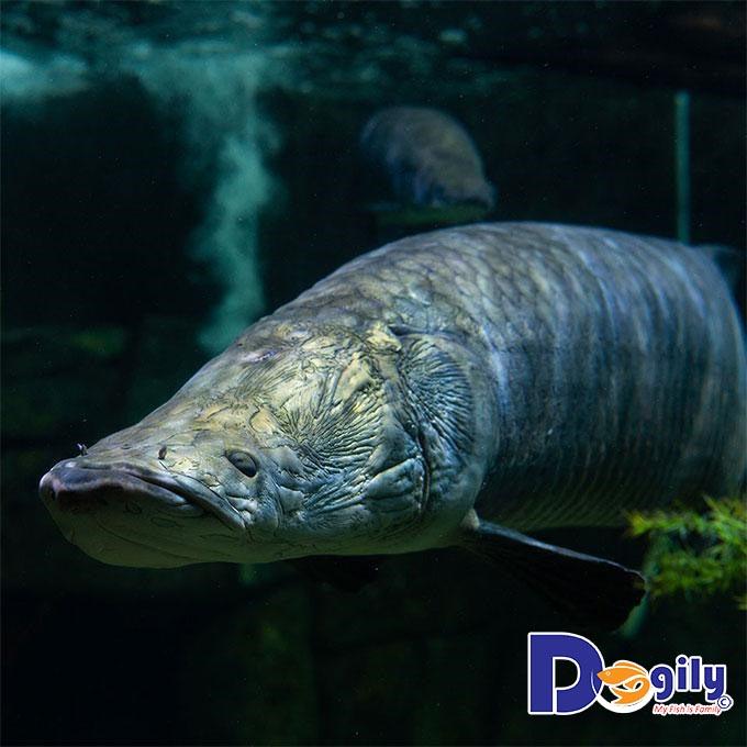 Cá Hải Tượng giá bao nhiêu? Những đặc điểm cơ bản về giống cá này bạn nên biết