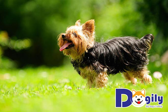 Giống chó Yorkshire Terrier rất dễ gần