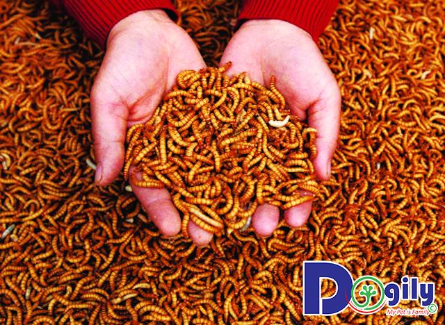 Hướng dẫn cách nuôi sâu quy (sâu gạo) thức ăn dành cho chim cảnh