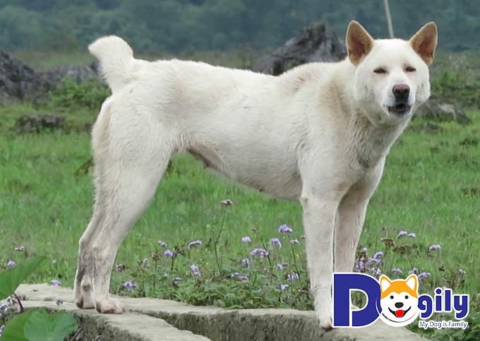 H'mông cộc đuôi có thể xem là dòng chó săn cổ xưa, tinh nhuệ nhất của Việt Nam