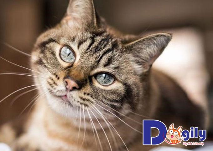 Khi mèo cái triệt sản cần chuẩn bị những gì?
