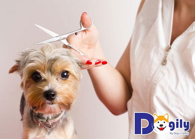 Lưu ý khi cạo hay cắt tỉa lông chó