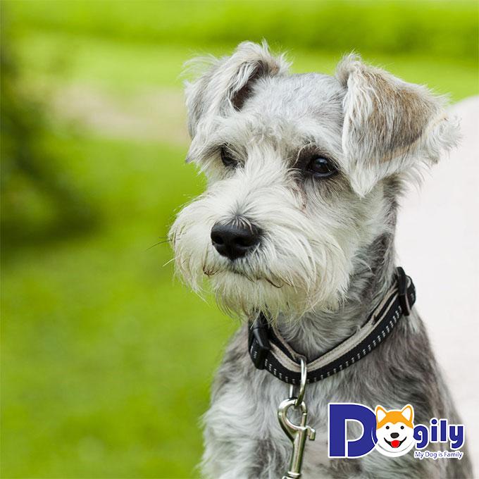 Những thông tin cần biết về chú chó mini Schnauzer