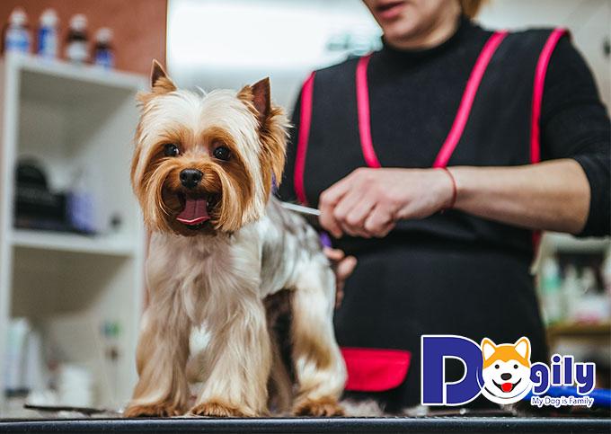 Cách cắt tỉa lông chó, những lưu ý khi cắt tai, cắt móng cho chú chó của bạn