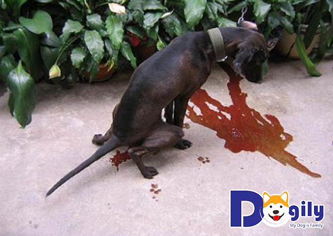 Nguyên nhân chó bị ỉa ra máu - chó con bị tiêu chảy ra máu