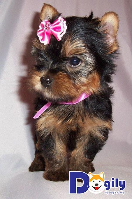 Những chú chó Yorkshire Terrier con có màu lông đen khi mới sinh ra