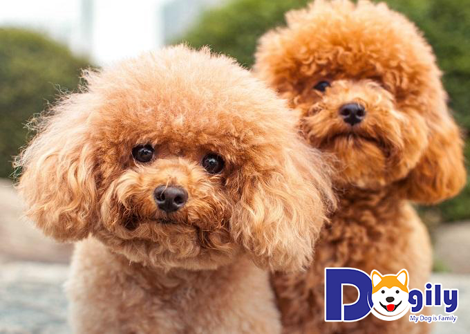 Những chú chó dễ thương Poodle