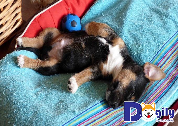 Những chú chó lười vận động dễ mắc chứng hạ bàn