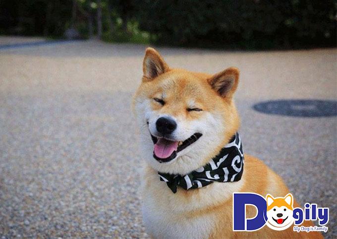 Nụ cười thương hiệu của các bé chó đáng yêu Akita