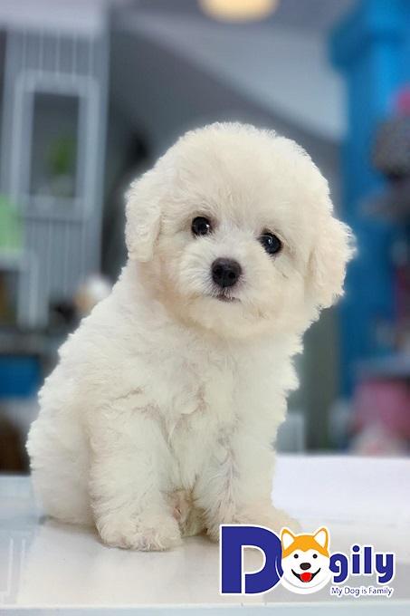 Poodle trắng dễ thương