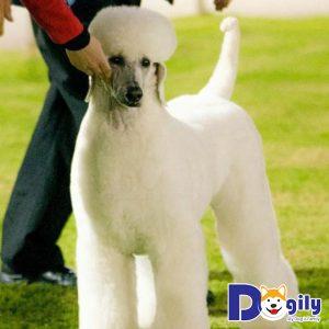 Thể lực bao giờ cũng là yếu tố quan trọng hàng đầu của mỗi chú chó khi tham gia dog show