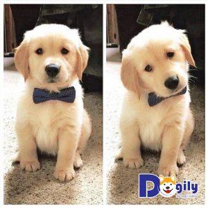Thời điểm thích hợp nhất để dạy chó là khi chúng được 3 đến 4 tháng tuổi