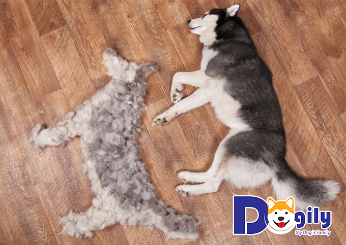 Thời kỳ thay lông của chó bắt đầu từ khoảng 6-8 tuần tuổi