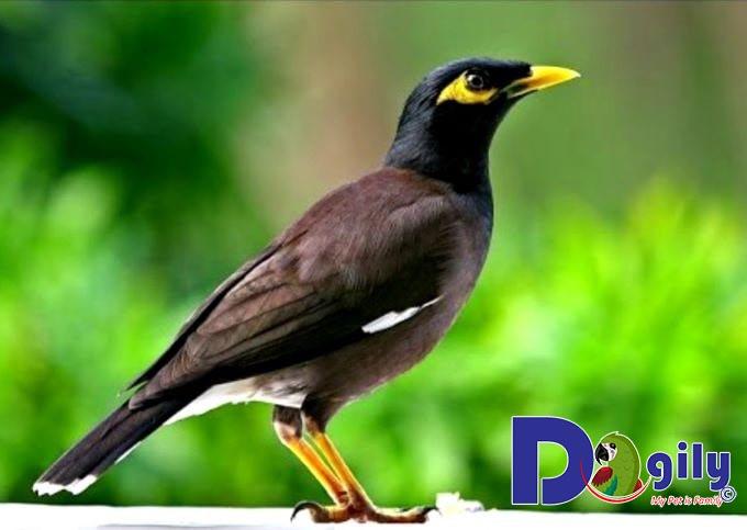 Chim sáo - Loài chim biết nói mang vẻ ngoài đa dạng